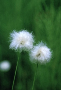 202001051_cotton_grass