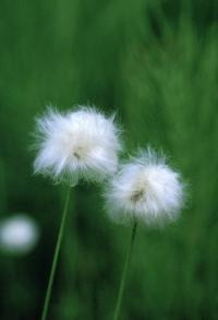 202001051_cotton_grass